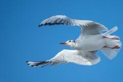 Seagull ελιγμός πετάγματος στοκ εικόνες