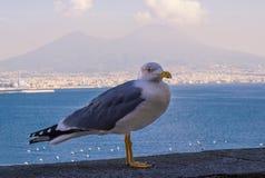 Seagull ηφαιστείων του Βεζούβιου στον κόλπο της Νάπολης Στοκ Εικόνες