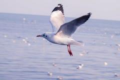 Seagull η πτήση, πουλί θάλασσας που πετά μέσω μπλε ουρανού της μπλε φύσης τόνου θάλασσας άσπρης φωτεινής μπορεί να υποχωρήσει την στοκ εικόνες με δικαίωμα ελεύθερης χρήσης