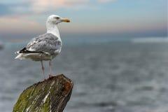 Seagull θαλασσίως, πορτρέτο Στοκ Εικόνες