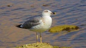 Seagull κάθεται σε μια πέτρα θαλασσίως, κλείνει επάνω φιλμ μικρού μήκους