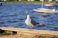 Seagull, κέδροι Harvey Στοκ Φωτογραφίες