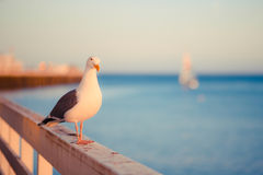 Seagull και ηλιοβασίλεμα Στοκ Φωτογραφίες