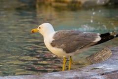Seagull και η πηγή Στοκ Φωτογραφία