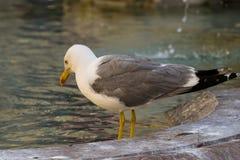 Seagull και η πηγή Στοκ Φωτογραφίες