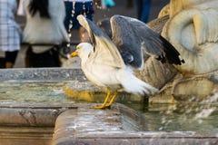 Seagull και η πηγή Στοκ εικόνες με δικαίωμα ελεύθερης χρήσης