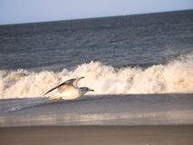 Seagull και κυματωγή Στοκ Εικόνες