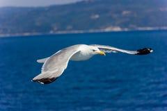 Seagull κατά την πτήση Στοκ φωτογραφίες με δικαίωμα ελεύθερης χρήσης