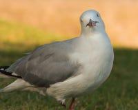 Seagull κινηματογραφήσεων σε πρώτο πλάνο σε ένα πάρκο στοκ εικόνες