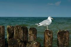 Seagull κοιτάζει Στοκ φωτογραφίες με δικαίωμα ελεύθερης χρήσης