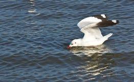 seagull κολύμβηση Στοκ φωτογραφία με δικαίωμα ελεύθερης χρήσης