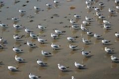 Seagull κοπάδι Στοκ Εικόνες