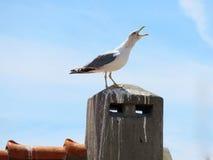Seagull κραυγή Στοκ Φωτογραφίες