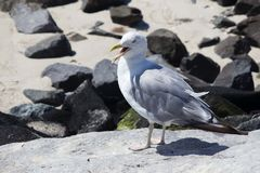 Seagull κόλπων Barnegat Στοκ εικόνες με δικαίωμα ελεύθερης χρήσης