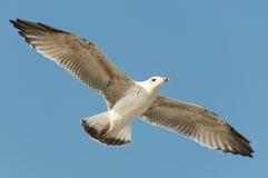 seagull λευκό Στοκ Εικόνα