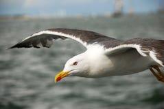 seagull ματιών Στοκ Εικόνες
