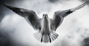 Seagull με τα φτερά που πετούν άμεσα από πάνω Στοκ φωτογραφία με δικαίωμα ελεύθερης χρήσης