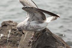 Seagull με τη γραμμή αλιείας στα πόδια του στοκ εικόνα