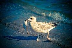 Seagull με το θήραμά του Στοκ Φωτογραφία