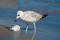 Seagull με το θήραμά του Στοκ Εικόνα