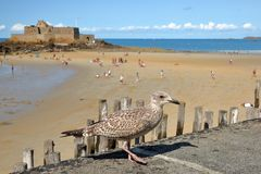 Seagull με το οχυρό εθνικό και την παραλία με άμπωτη στο υπόβαθρο, Άγιος Malo στοκ εικόνες με δικαίωμα ελεύθερης χρήσης
