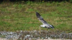 Seagull με το χέλι Στοκ εικόνα με δικαίωμα ελεύθερης χρήσης