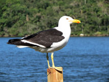 Seagull μια ηλιόλουστη ημέρα Στοκ εικόνα με δικαίωμα ελεύθερης χρήσης