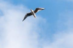 Seagull μπλε ουρανός σύννεφων Στοκ εικόνες με δικαίωμα ελεύθερης χρήσης