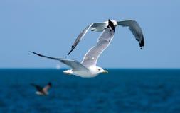 seagull μυγών πουλιών Στοκ Φωτογραφίες