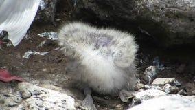 Seagull μωρό απόθεμα βίντεο