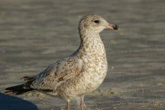 Seagull μωρό Στοκ φωτογραφία με δικαίωμα ελεύθερης χρήσης