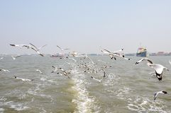 Seagull μύγα Στοκ Εικόνες