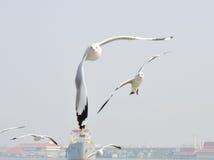 Seagull μύγα Στοκ φωτογραφίες με δικαίωμα ελεύθερης χρήσης