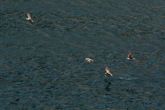 Seagull μύγες πέρα από Μαύρη Θάλασσα κοντά στην ακτή της Κριμαίας Στοκ φωτογραφία με δικαίωμα ελεύθερης χρήσης