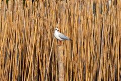 Seagull να σκαρφαλώσει Στοκ εικόνα με δικαίωμα ελεύθερης χρήσης