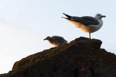 Seagull νεοσσός με Seagull μητέρων στοκ φωτογραφία με δικαίωμα ελεύθερης χρήσης