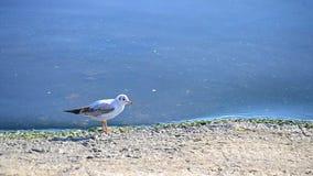 Seagull οι περίπατοι στο ανάχωμα, τρέπονται σε φυγή και πετούν μακριά απόθεμα βίντεο