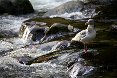 seagull ορμητικά σημείων ποταμού & Στοκ Εικόνες