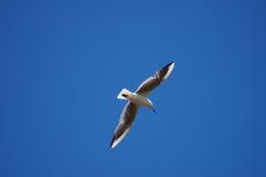 seagull ουρανός Στοκ εικόνα με δικαίωμα ελεύθερης χρήσης