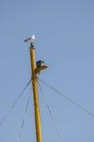 Seagull πάνω από έναν πόλο Στοκ εικόνες με δικαίωμα ελεύθερης χρήσης