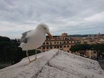 Seagull πέρα από τη Ρώμη Στοκ φωτογραφίες με δικαίωμα ελεύθερης χρήσης