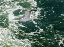 Seagull πέρα από τον ωκεανό Στοκ Φωτογραφία