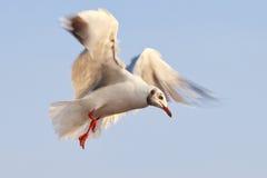 Seagull πέταγμα Στοκ εικόνες με δικαίωμα ελεύθερης χρήσης