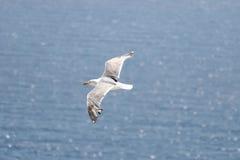 Seagull πέταγμα Στοκ Φωτογραφία