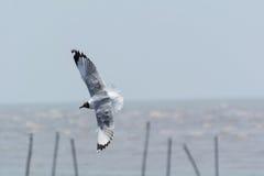 Seagull πέταγμα Στοκ φωτογραφία με δικαίωμα ελεύθερης χρήσης