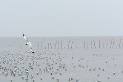 Seagull πέταγμα Στοκ φωτογραφίες με δικαίωμα ελεύθερης χρήσης