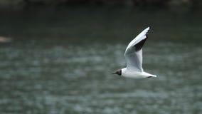 Seagull πέταγμα Στοκ εικόνα με δικαίωμα ελεύθερης χρήσης