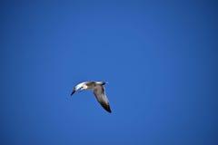 Seagull πέφτει απότομα το νερό για ένα πρόχειρο φαγητό Στοκ Φωτογραφίες