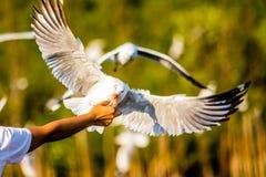 Seagull παίρνει τα τρόφιμα Στοκ Εικόνες