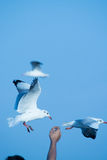 Seagull παίρνει τα τρόφιμα Στοκ εικόνες με δικαίωμα ελεύθερης χρήσης